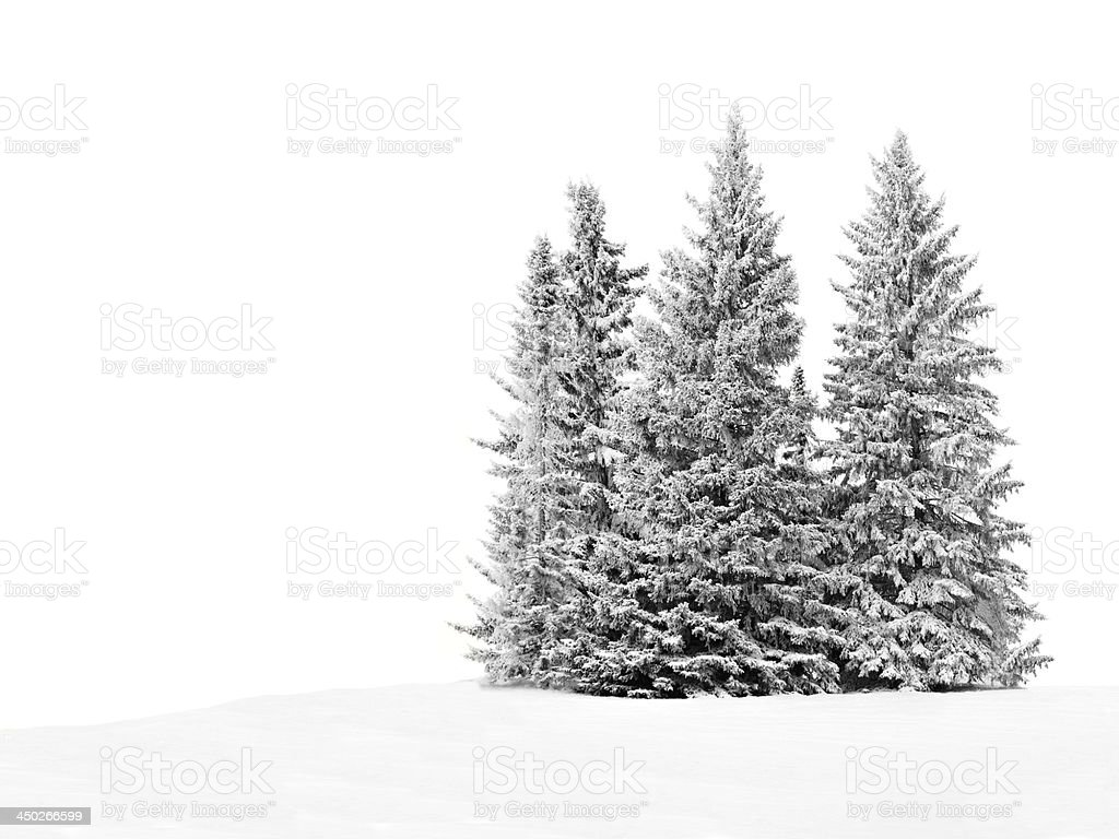 Group of frosty trees in snow over white stock photo
