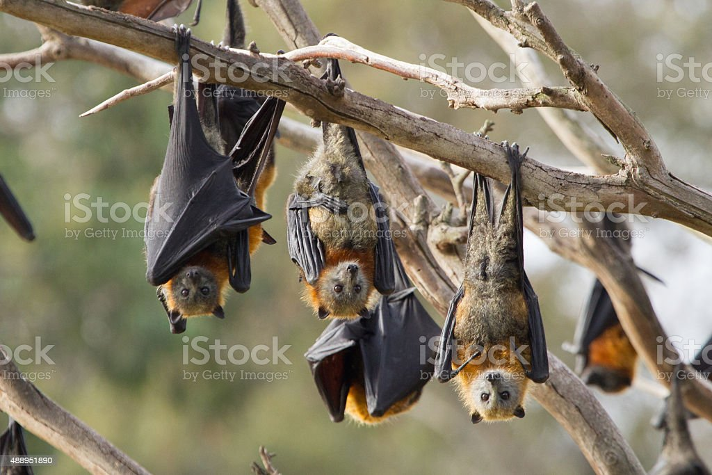 Group of Fruit Bats stock photo