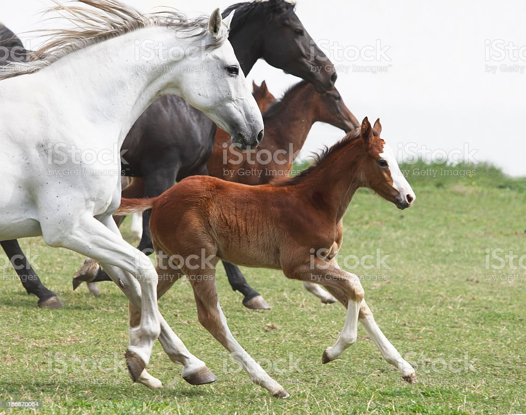 A group of galloping horses in an open field stock photo