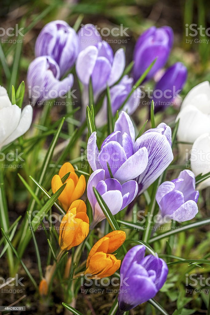 Group of garden crocus flowers royalty-free stock photo