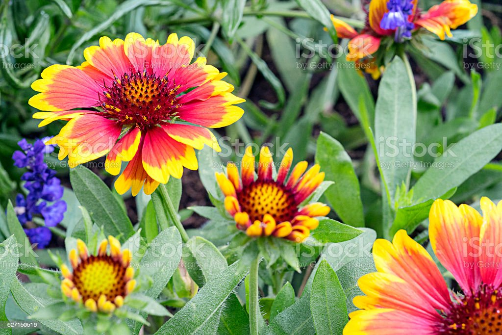 Group of Gazania stock photo