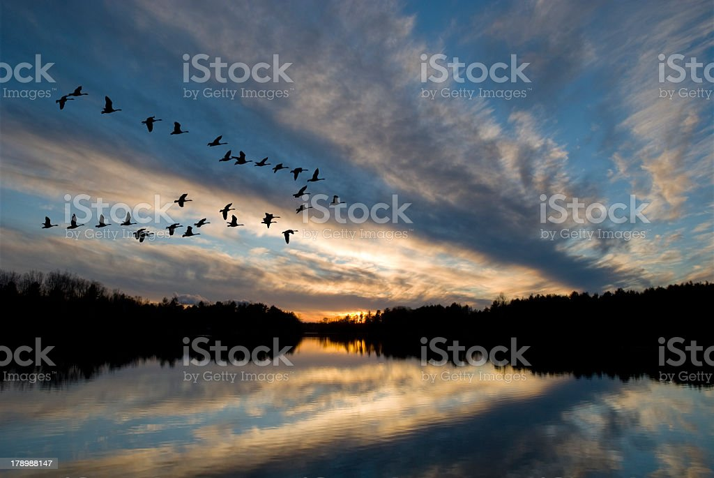 Group of geese flying over a lake stock photo