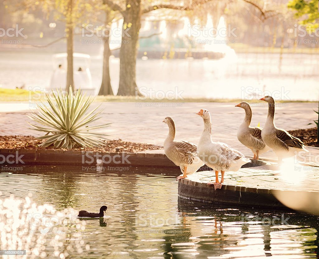 Group of geese in an urban park royalty-free stock photo