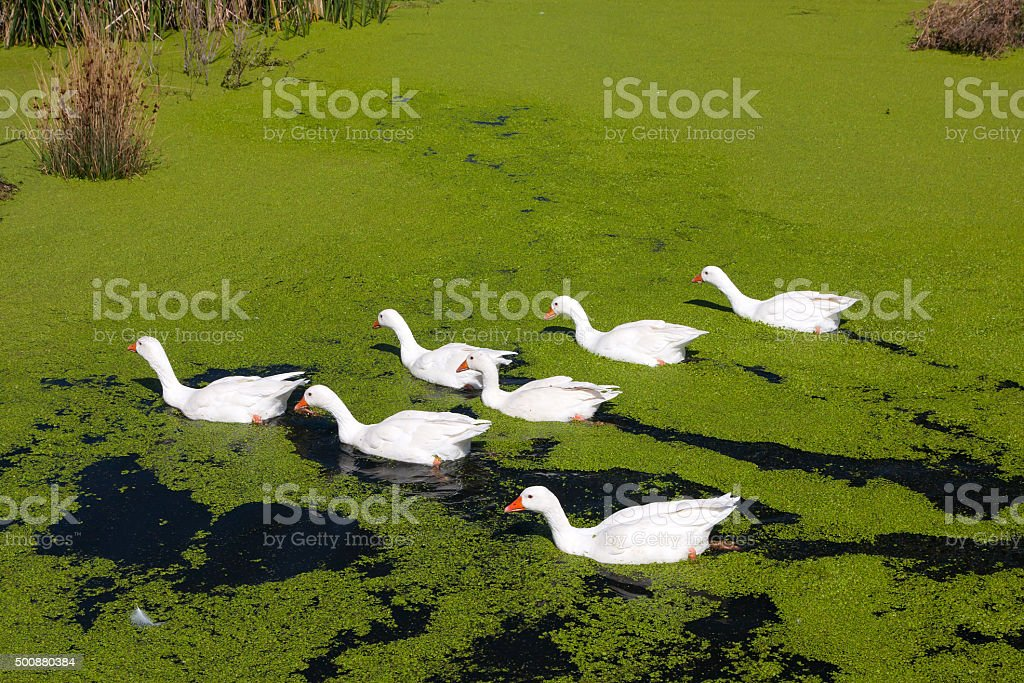 Group of geese stock photo