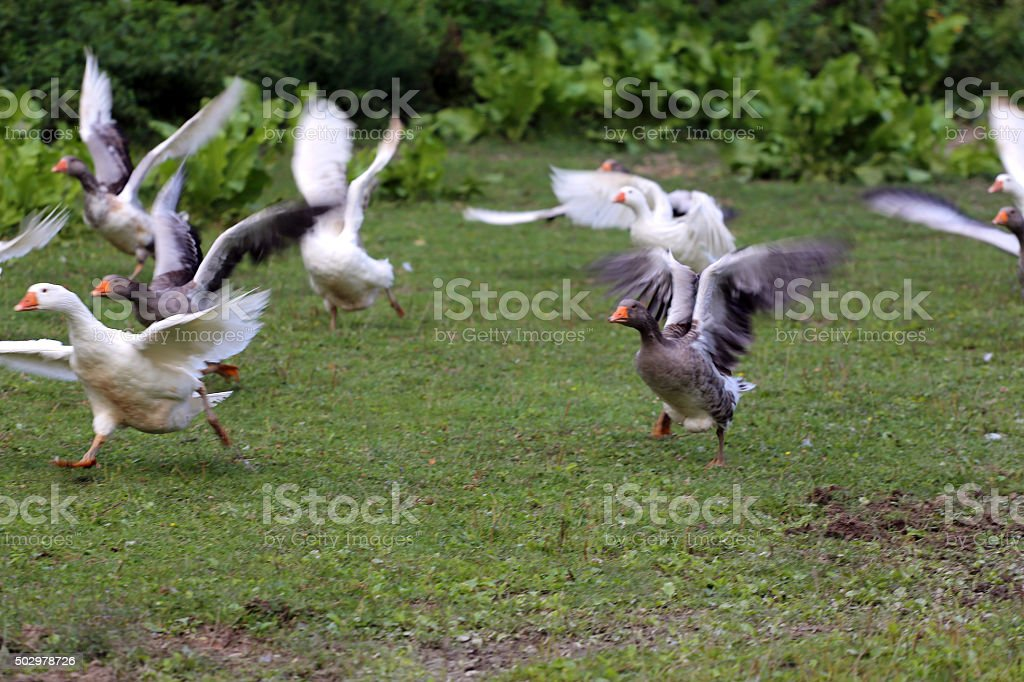 Group of geese running through on pasture rural scene stock photo