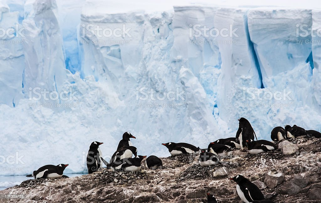 Group of Gentoo Penguins royalty-free stock photo