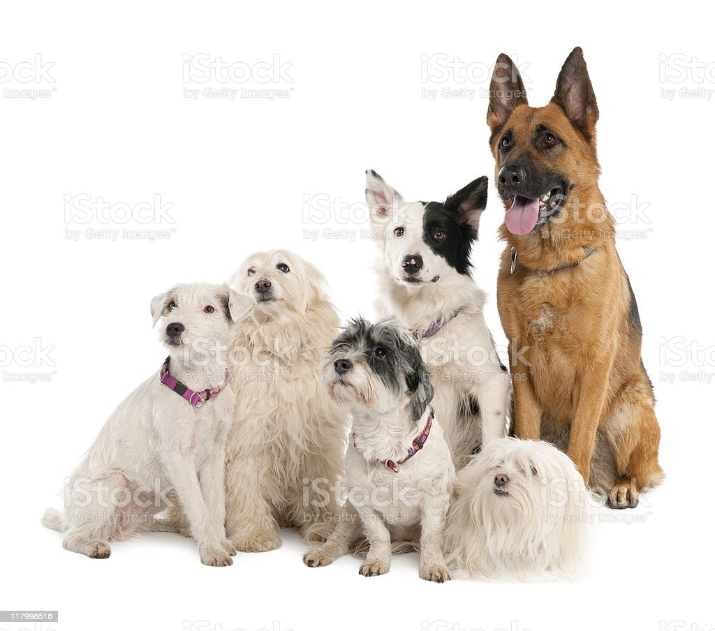 Group of german shepherd, border collie and some crossbreed royalty-free stock photo