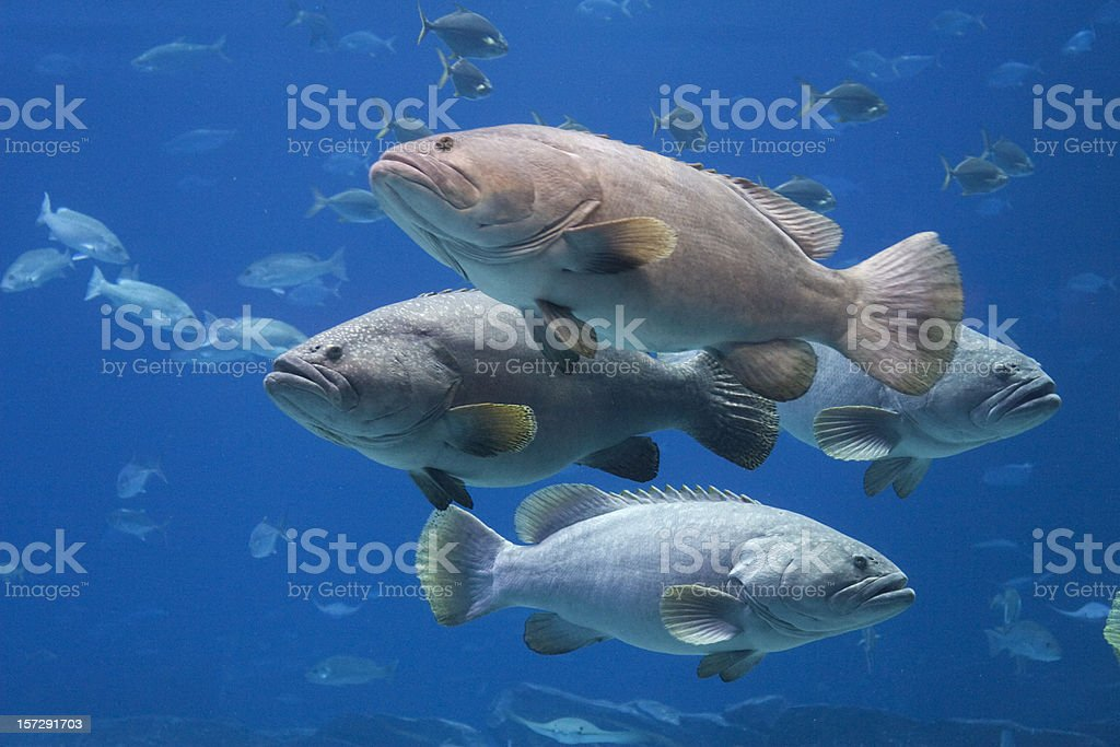 Group of Giant Groupers stock photo