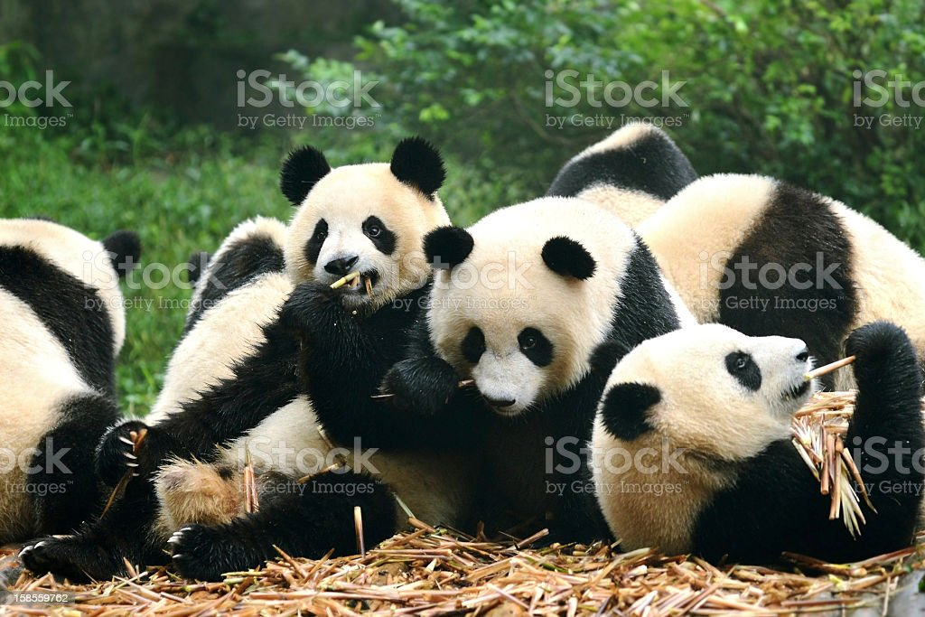 Group of giant panda eating bamboo Chengdu, China stock photo