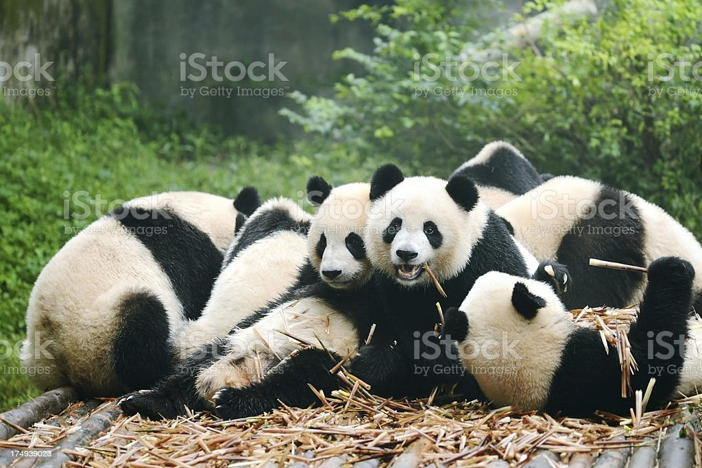 Group of giant panda eating bamboo stock photo