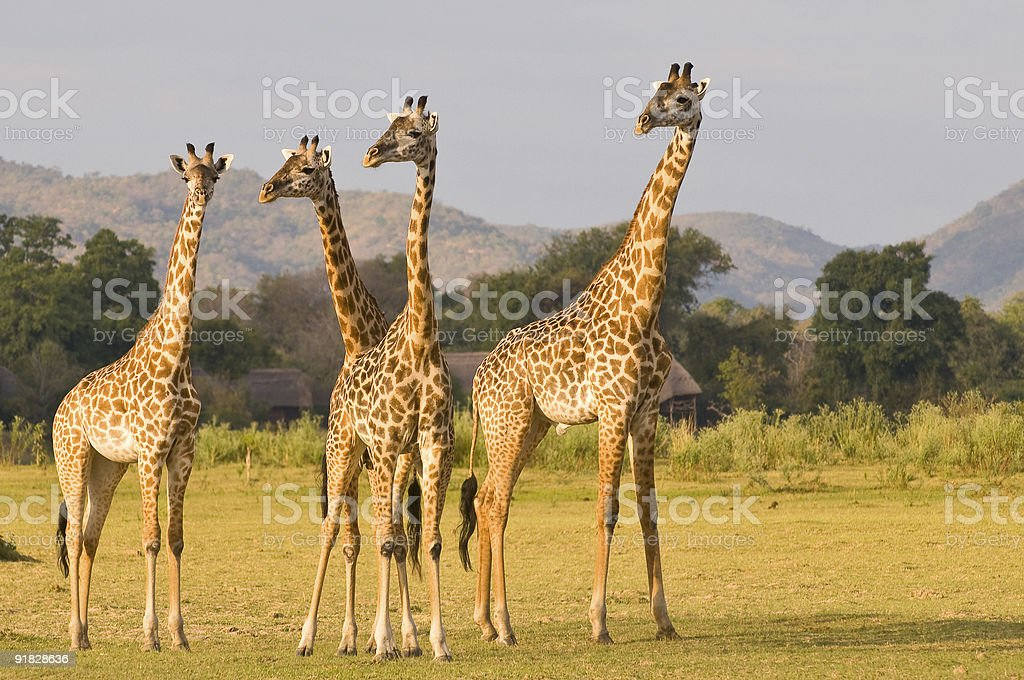Group of giraffe in a field. stock photo