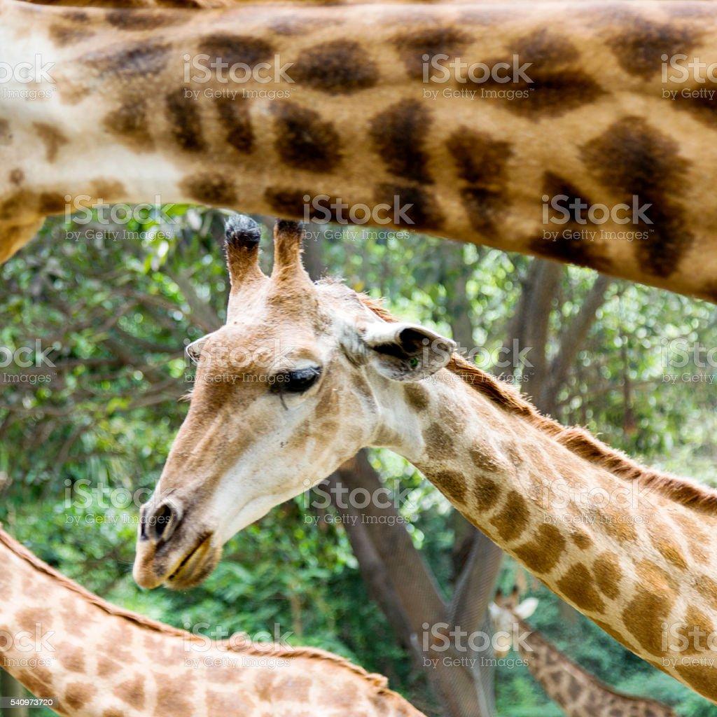 Group of giraffes stock photo