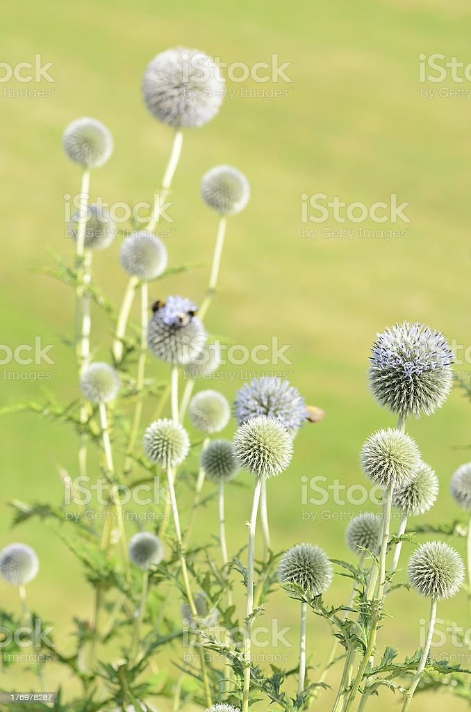 Group of globe thistle against grass stock photo