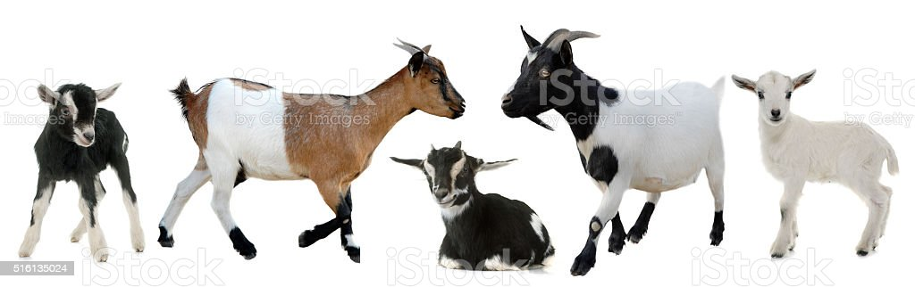 group of goats and kids stock photo
