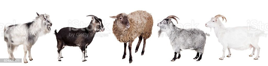 Group of goats on the white stock photo