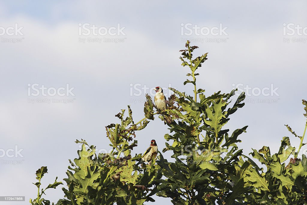 Two goldfinches Carduelis most charming on oak tree stock photo