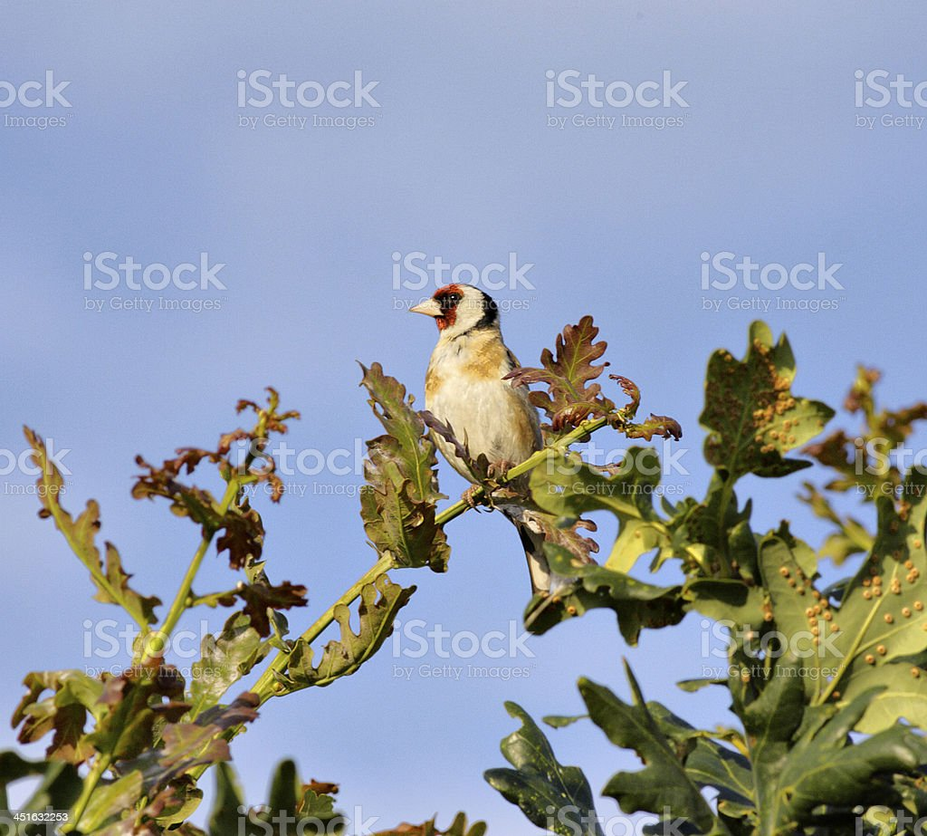 Goldfinch Carduelis most charming on oak tree stock photo
