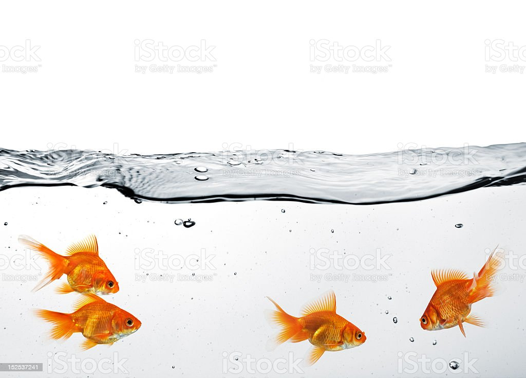 A group of goldfish in clear, clean water royalty-free stock photo