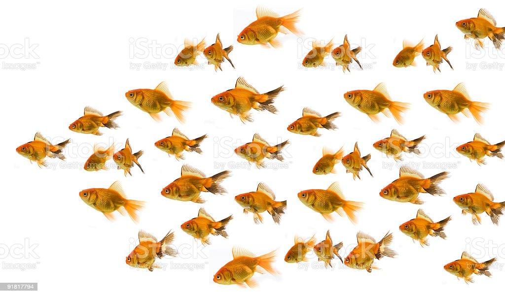 group of goldfish royalty-free stock photo