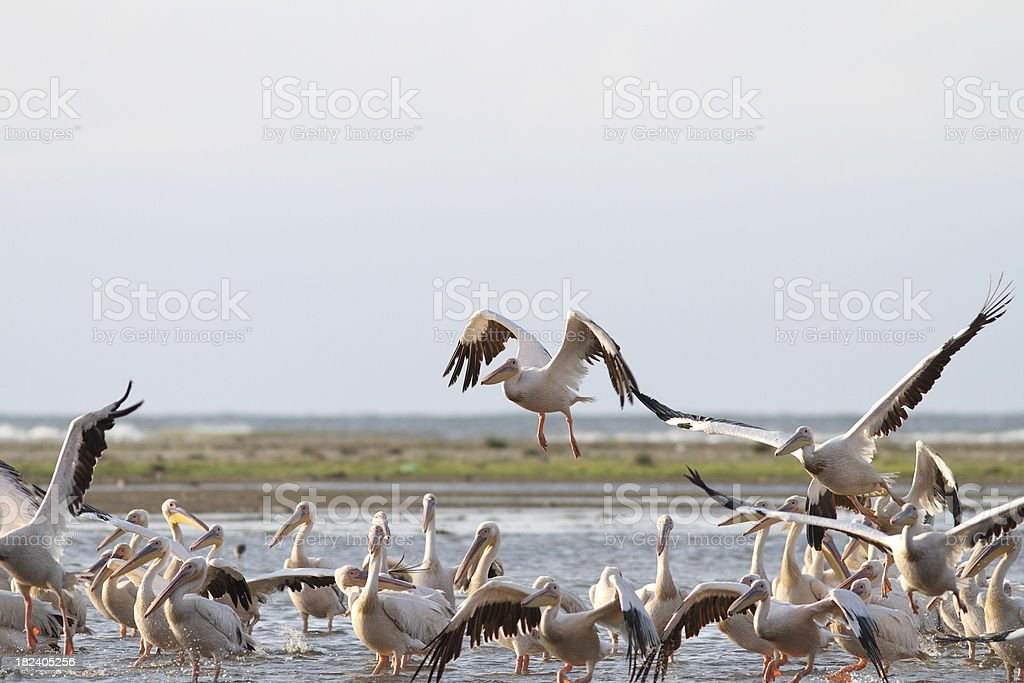 group of great pelicans in shallow water royalty-free stock photo