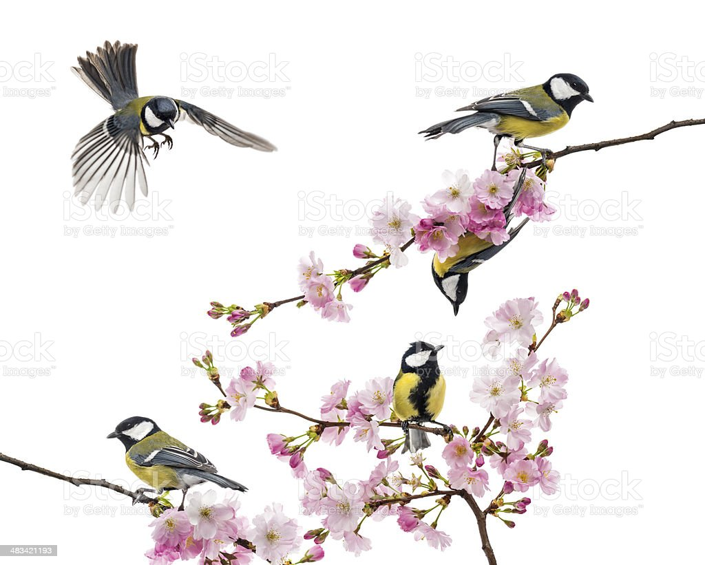 group of great tit perched on a flowering branch stock photo