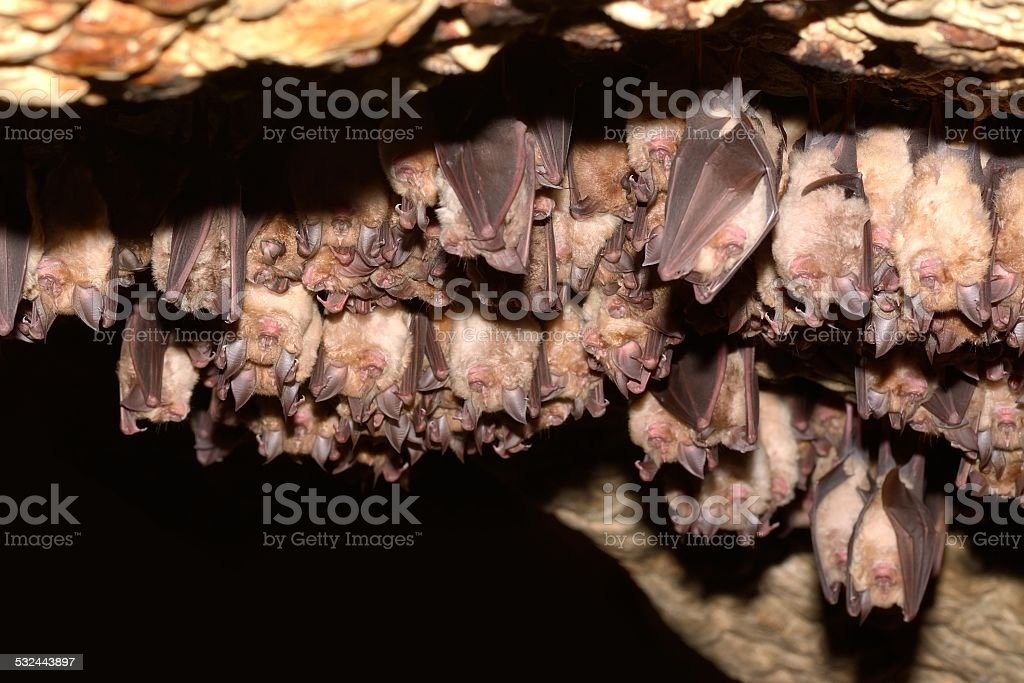 Group of Greater horseshoe bat (Rhinolophus ferrumequinum) stock photo