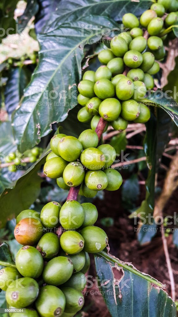 Group of  green coffee beans on tree branch stock photo
