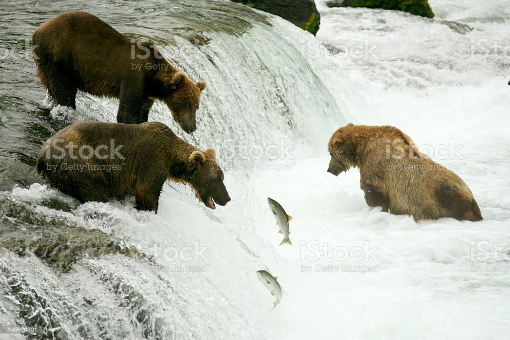 Group of grizzly bears in water and hunting for fish stock photo