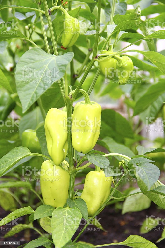Group of growing sweet peppers royalty-free stock photo