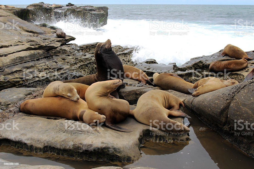 Group of harbor seals stock photo