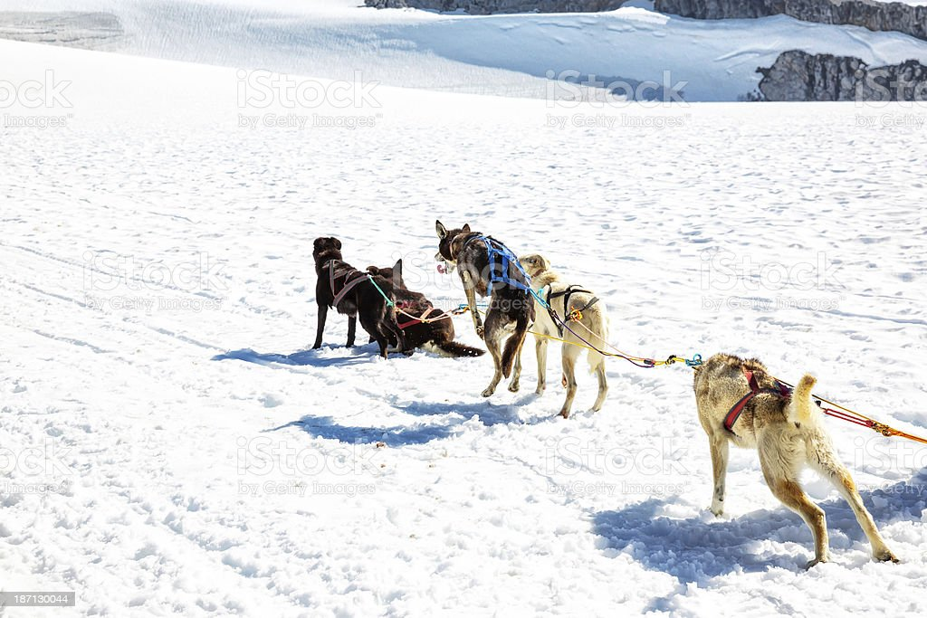 Group of harnessed sled dogs royalty-free stock photo