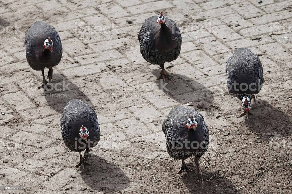 Group of Helmeted Guineafowl (Numida meleagris) stock photo