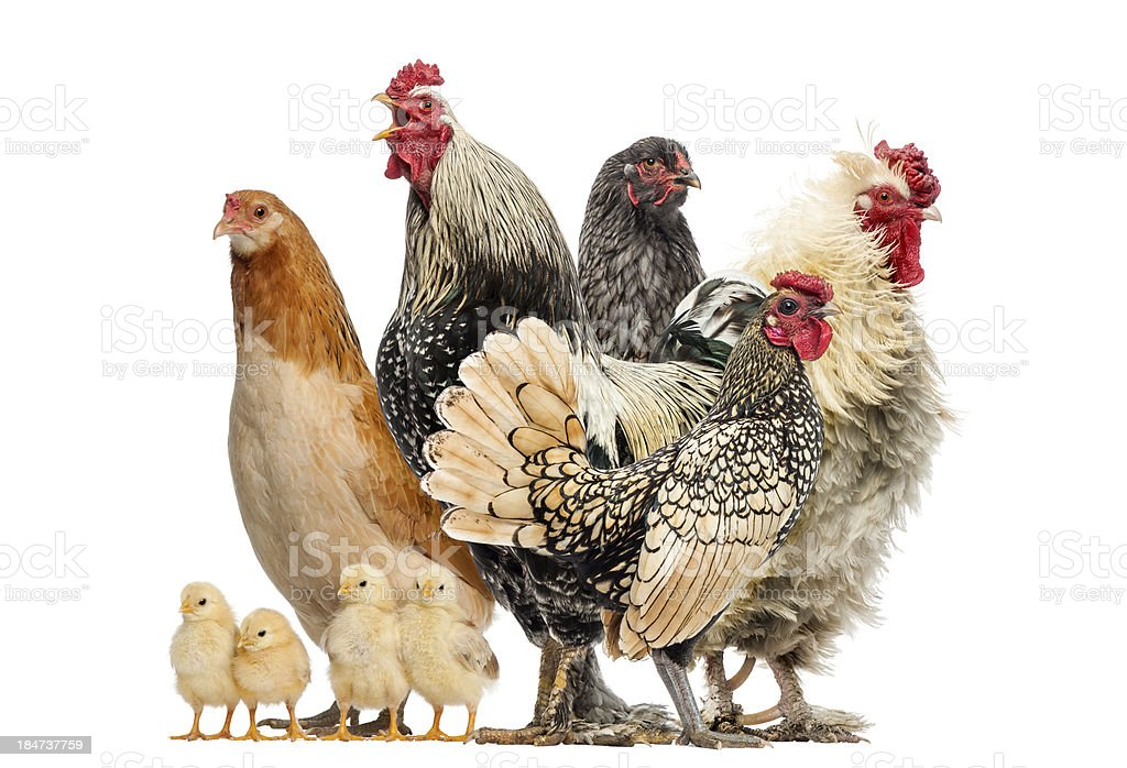 Group of hens, roosters and chicks, isolated on white stock photo