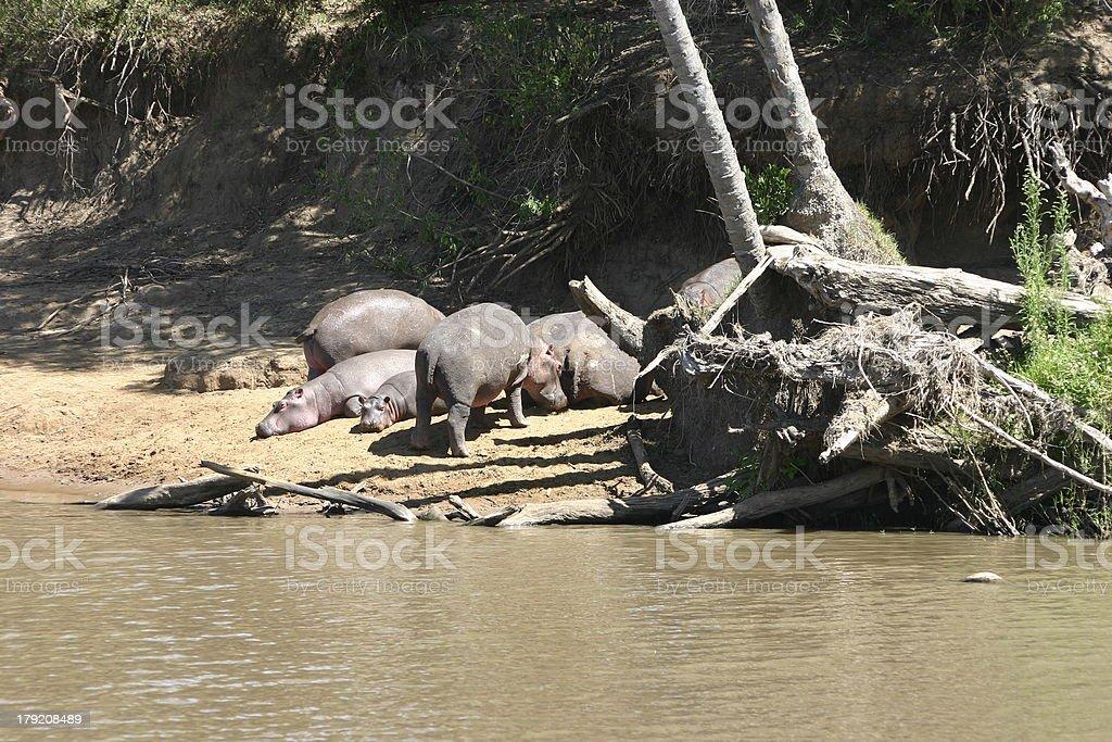 Group of Hippos, Hippopotamus at the Riverbank Masai River, Kenya royalty-free stock photo