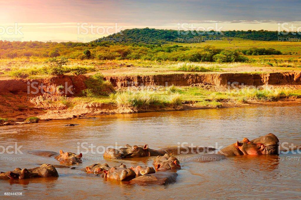 Group of hippos in Masai Mara reserve in Kenya stock photo