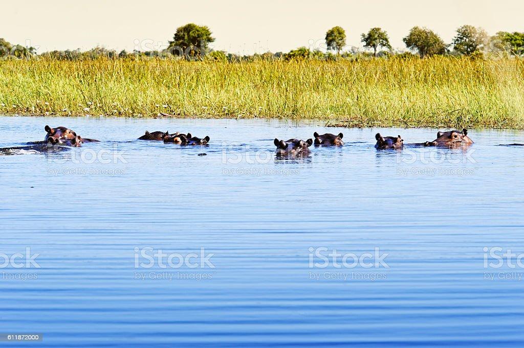 Group of hippos in the water, Okavango Delta,Botswana stock photo