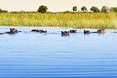 Group of hippos in the water, Okavango Delta,Botswana