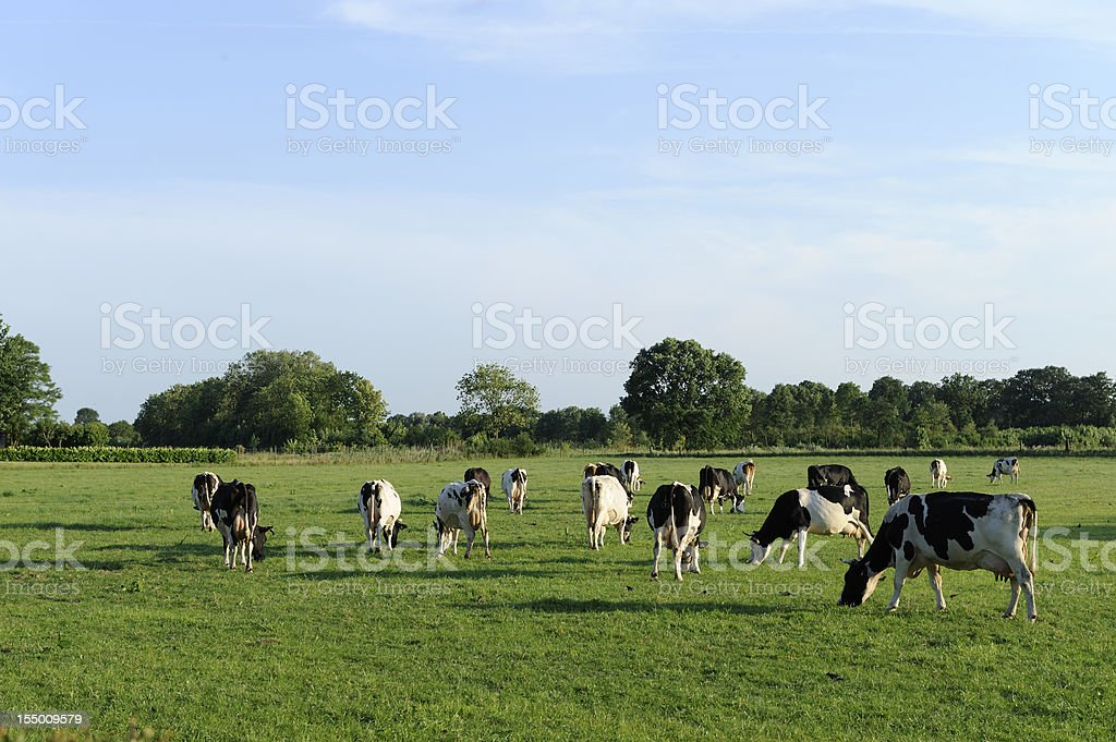 Group of holstein cows in a meadow royalty-free stock photo