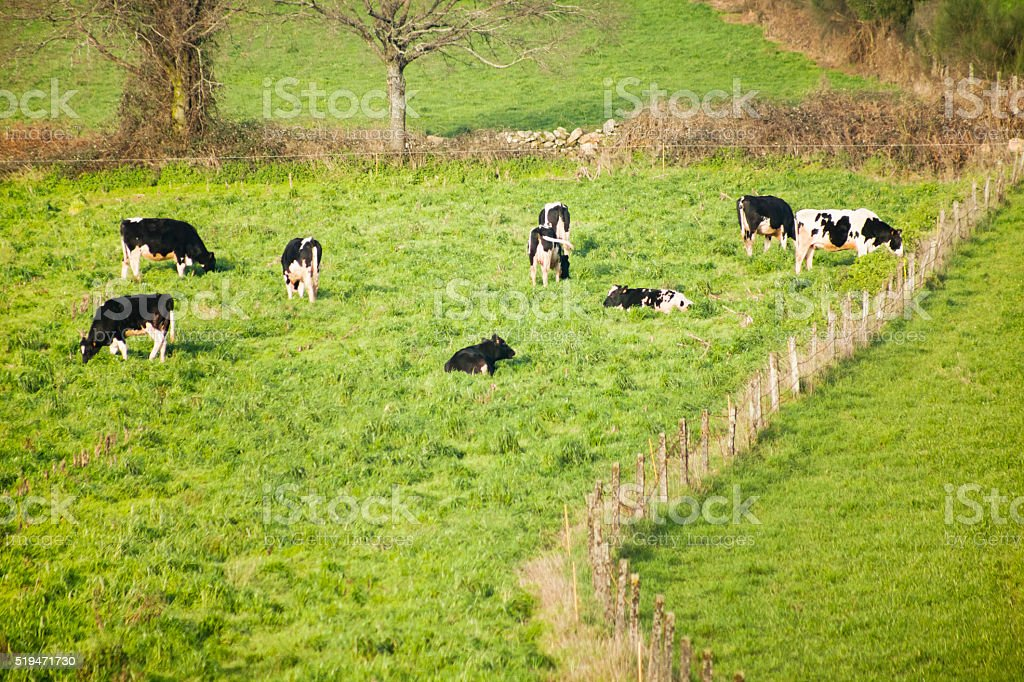 Group of Holstein cows on green meadow. stock photo