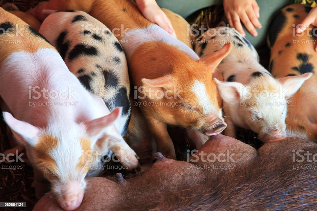 Group of hungry piglets stock photo