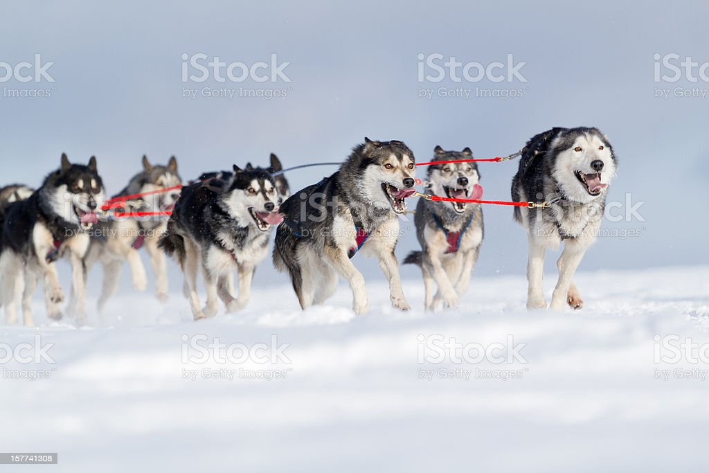 Group of husky sled dogs running in snow royalty-free stock photo