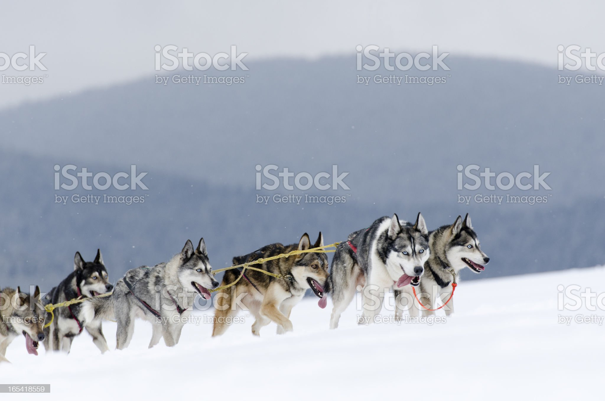 Group of husky sled dogs running uphill in snow royalty-free stock photo