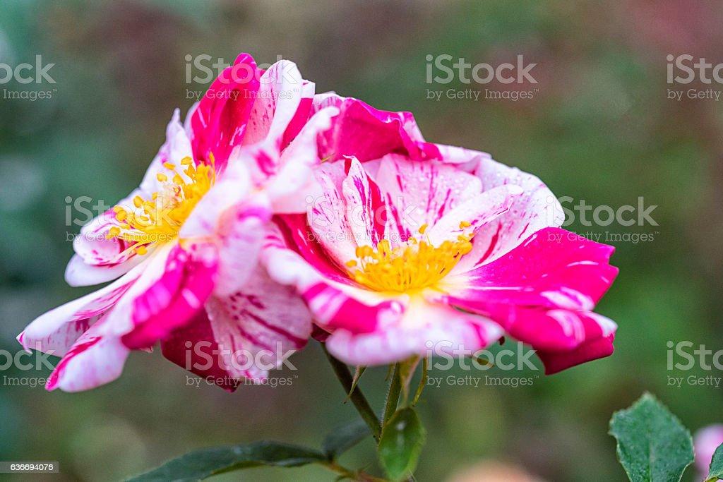 Group of Hybrid Roses stock photo