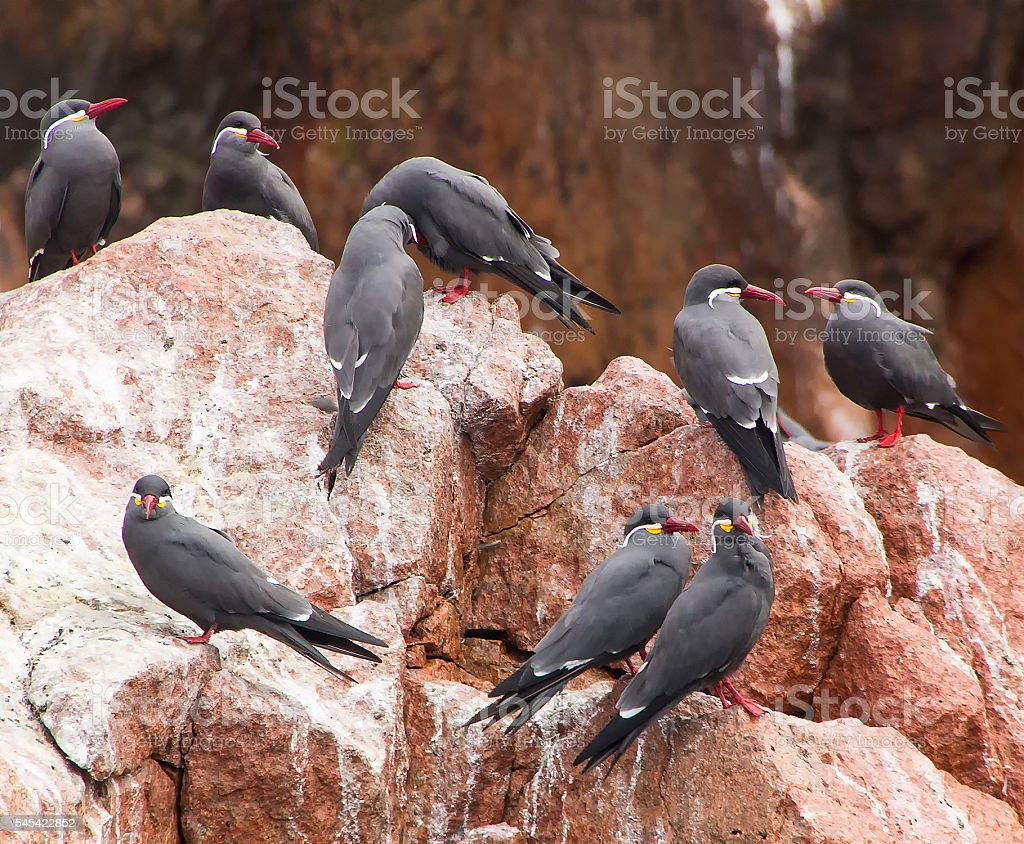 Group of  inca terns sitting on a rock stock photo