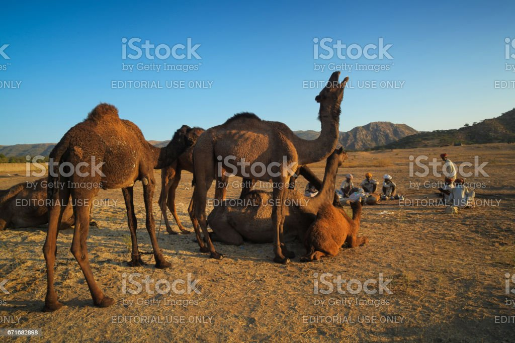 A group of Indian Rajasthani rural men with their herd of camels at Pushkar Camel Fair stock photo
