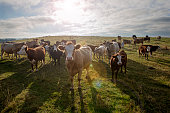 Group of Inquistive Simmental and Hereford Cow's in the Field.