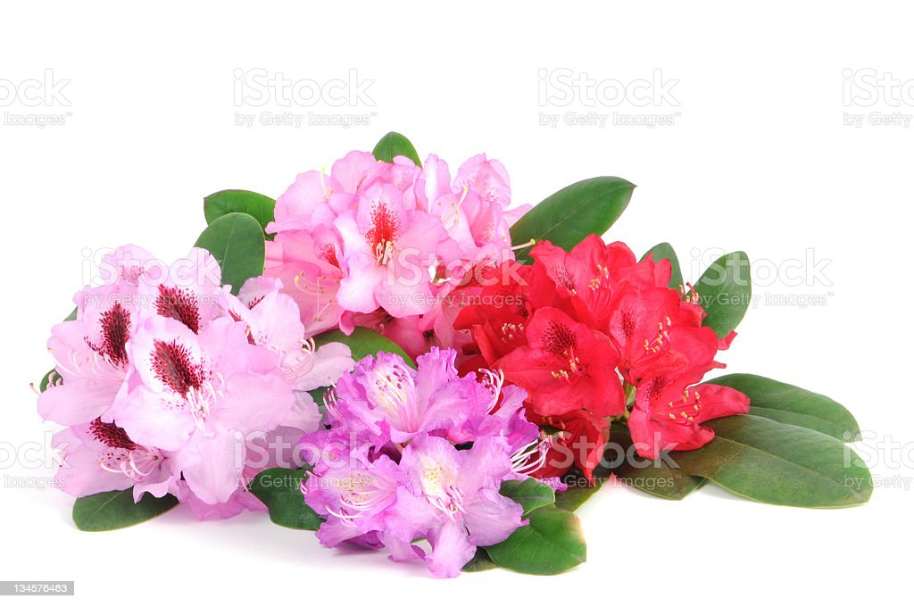 group of isolated Rhododendron in red pink and purple royalty-free stock photo