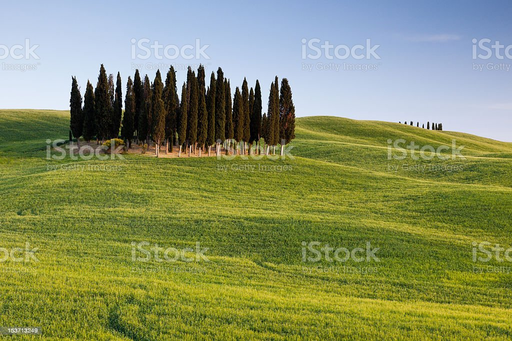 Group of italian cypresses royalty-free stock photo