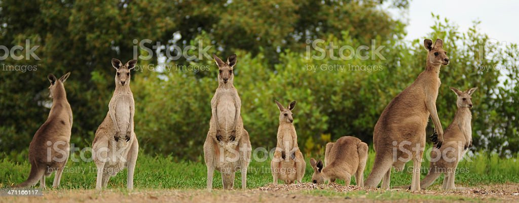 Group of kangaroos in field at sunset stock photo