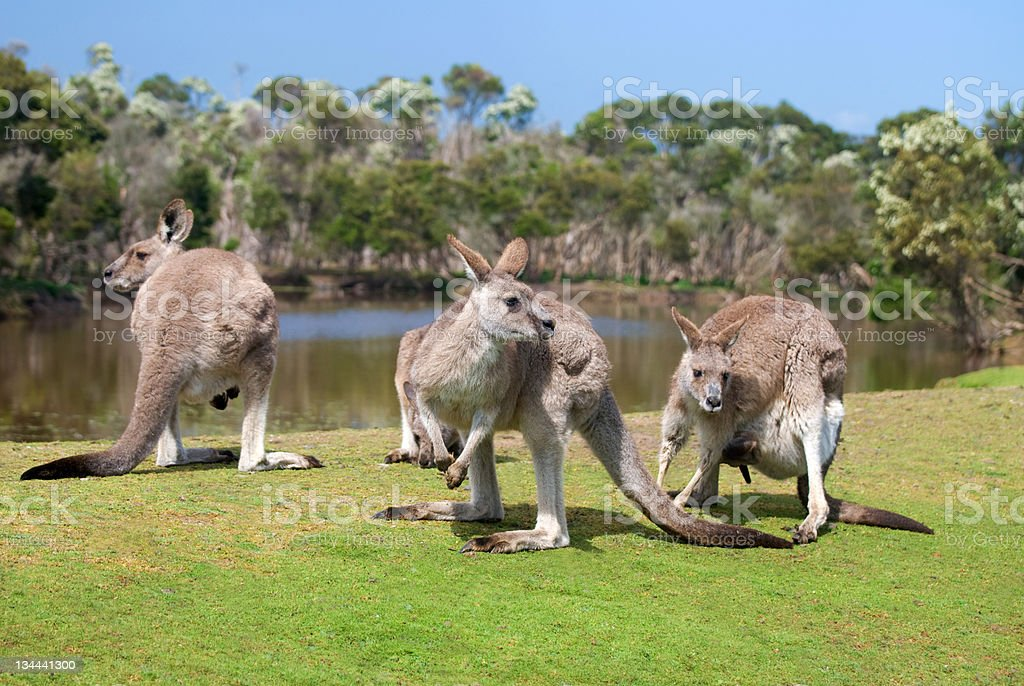 Group of kangaroos in Phillip Island Wildlife Park royalty-free stock photo